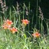 user_64_feuerlilie-lilium_bulbiferum-w